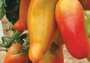Nos variétés de tomates préférées