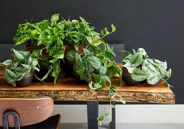 zoom sur une plante r solument purifiante le scindapsus elle d coration. Black Bedroom Furniture Sets. Home Design Ideas