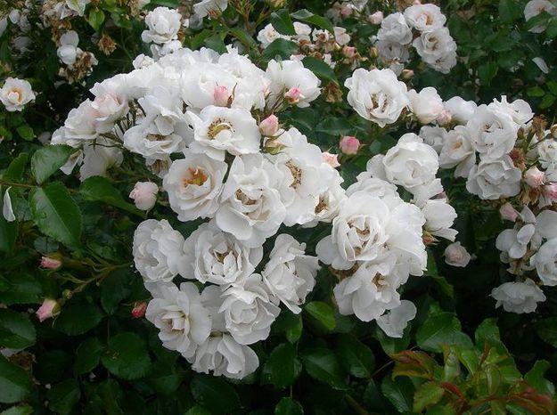 Philippe starck un rosier son nom elle d coration for Decoration jardin rosier