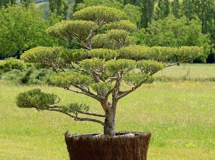 Comment tailler ses arbres en nuage elle d coration for Arbre exterieur jardin