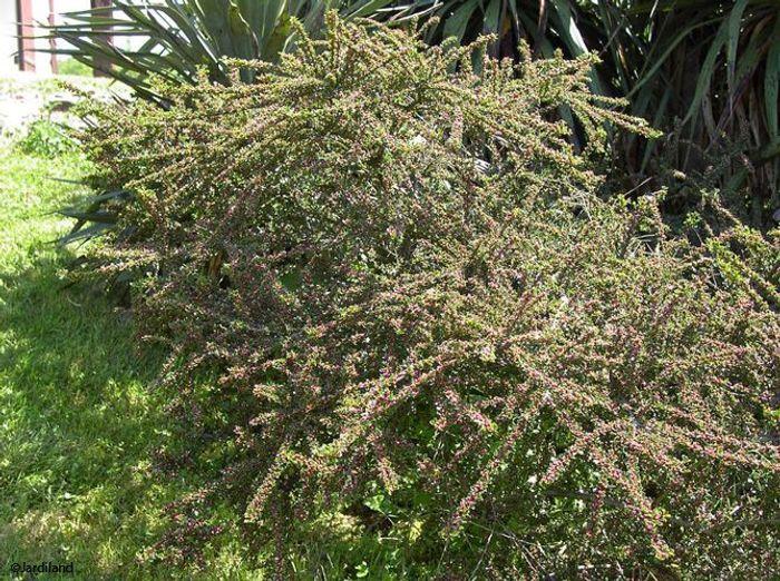 Des arbustes originaux pour mon jardin elle d coration for Quel arbre pour mon jardin