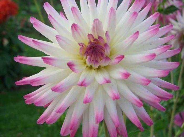 Dahlia blanc avec du rose