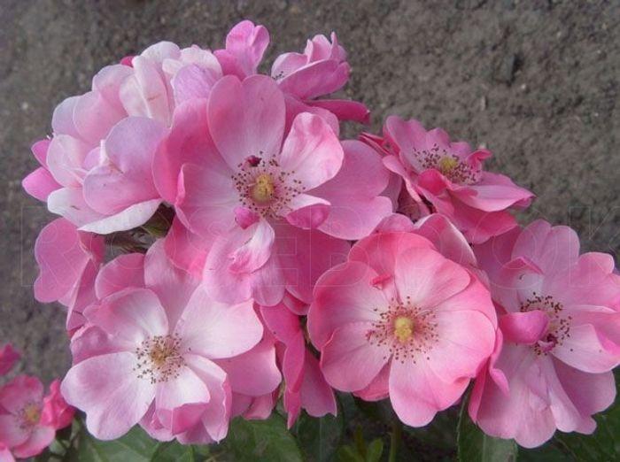 Les couleurs du rosier Angela